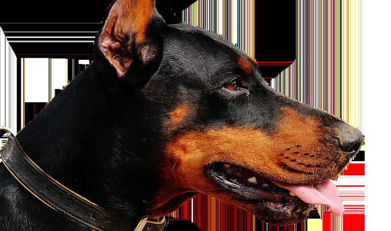 Las diez mejores razas de perro guardián - Apréndete