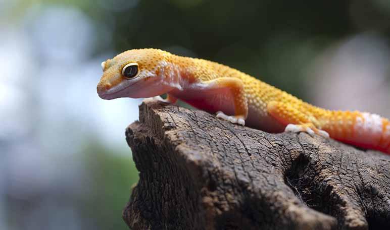 Gecko, el reptil más simpático - Apréndete