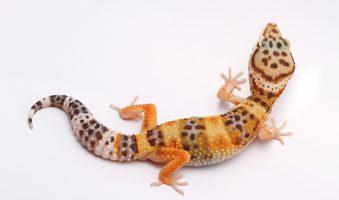 ¿pueden los geckos leopardo obtener cáncer de próstata?